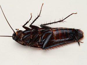 Хлебарките – как да се справим с тях