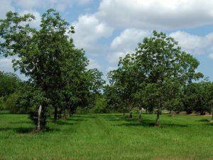 Прилагане на торове при младите дръвчета