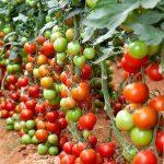 Торове за доматите
