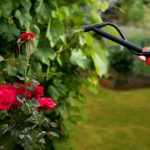 Как да поливаме розите